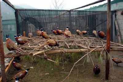山东省青岛市黄岛区七彩山鸡 2-3斤