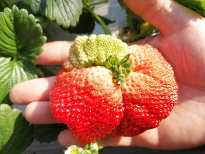 这是一张关于九九草莓 20克以上 酵素肥 无化肥农药 的产品图片