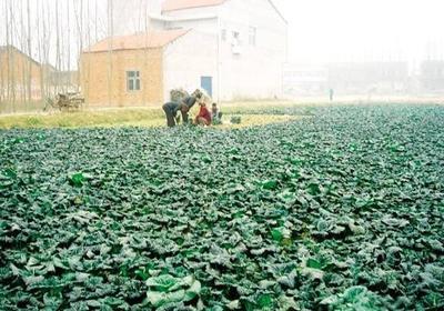 湖北省随州市曾都区泡泡青 1斤以下 二毛菜
