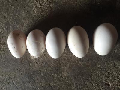 广东省江门市恩平市鲜鹅蛋 食用 箱装