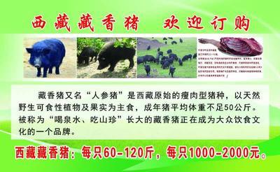 广东省广州市越秀区藏猪 100斤以上