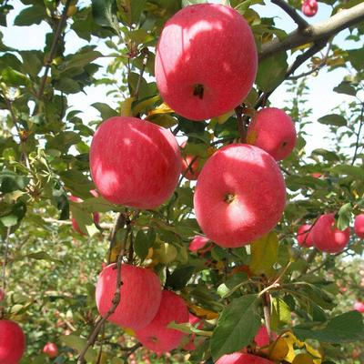 这是一张关于红富士苹果 75mm以上 条红 纸+膜袋 的产品图片