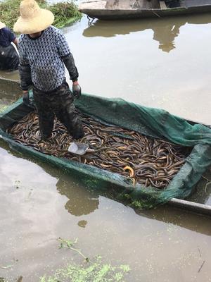 湖南省岳阳市君山区商品黄鳝 人工养殖