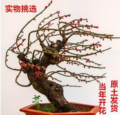 云南省德宏傣族景颇族自治州芒市景观盆栽