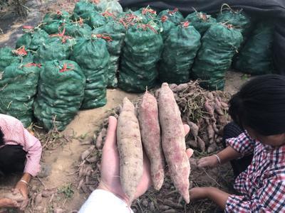 浙江省杭州市临安市番薯 3两以下 红皮