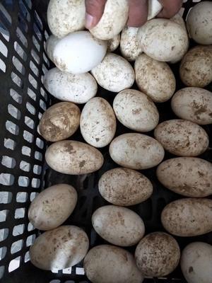 山东省德州市禹城市种鹅蛋 孵化 散装