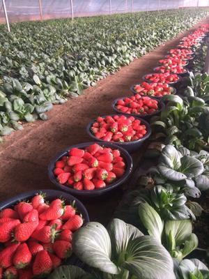 甘肃省庆阳市镇原县红颜草莓 30克以上