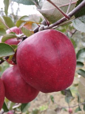 广东省广州市增城区红色之爱苹果 70mm以上 片红 光果