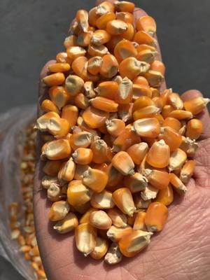 云南省德宏傣族景颇族自治州芒市玉米干粮 净货 水份14%-16%