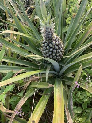 海南省万宁市万宁市海南菠萝 2 - 2.5斤