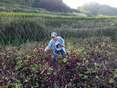 广西壮族自治区玉林市北流市玫瑰茄