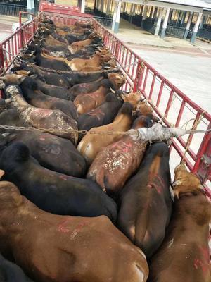 广西壮族自治区南宁市西乡塘区黄牛 800-1000斤 公牛