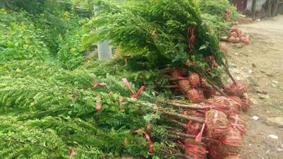 湖南省长沙市岳麓区南方红豆杉 3.5米~5米