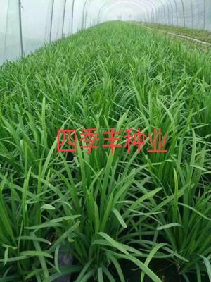 四川省成都市金牛区韭菜种子 袋装