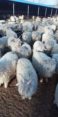 辽宁省锦州市义县绒山羊 80-110斤