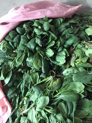 河南省新乡市红旗区大叶菠菜 20~25cm