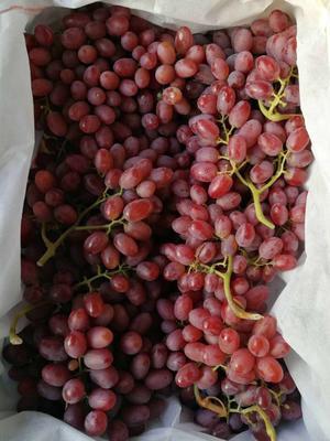 山西省运城市盐湖区克伦生葡萄 1-1.5斤 5%以下 1次果