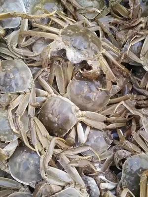 河北省保定市安新县白洋淀河蟹 2.0-2.5两 母蟹