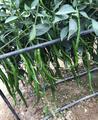 线椒种子 基地专用 约10.0克/袋