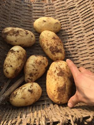 四川省自贡市贡井区宣薯2号 2.5两
