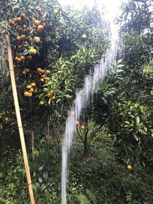 广东省惠州市惠城区春甜桔 2.5 - 3cm 1.5 - 2两