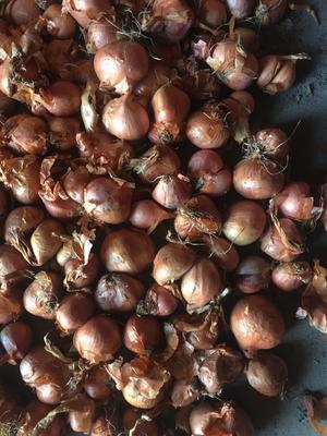 黑龙江省齐齐哈尔市梅里斯达斡尔族区毛葱 混装通货