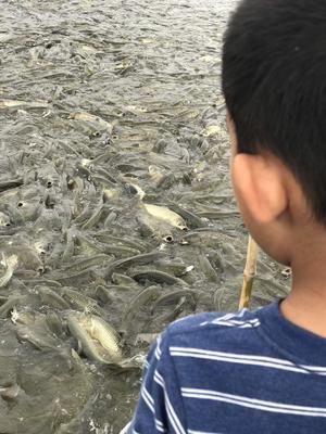 湖北省荆州市洪湖市池塘草鱼 人工养殖 1.5-6公斤