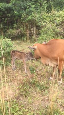 广东省广州市番禺区原生态黄牛 400-600斤 公牛