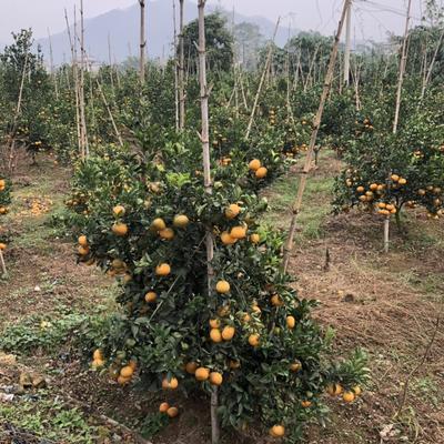 福建省漳州市平和县柑树苗 0.5~1米