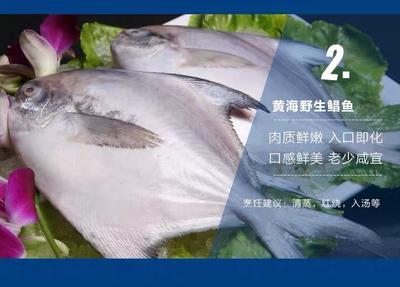 山东省烟台市莱山区白鲳 野生 1-1.5公斤