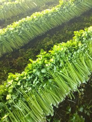 山东省潍坊市安丘市西芹 45~50cm 0.5~1.0斤 大棚种植