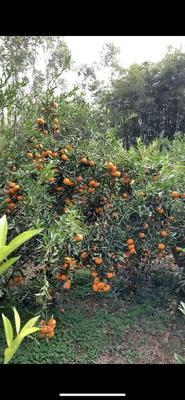 这是一张关于龙门年桔 统货 1.5 - 2两 的产品图片