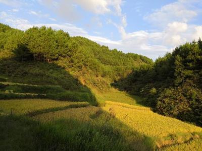 四川省达州市宣汉县川优6203 中稻/一季稻