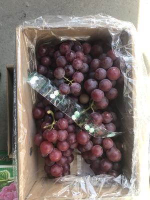 河北省石家庄市晋州市巨峰葡萄 1-1.5斤 5%以下 2次果