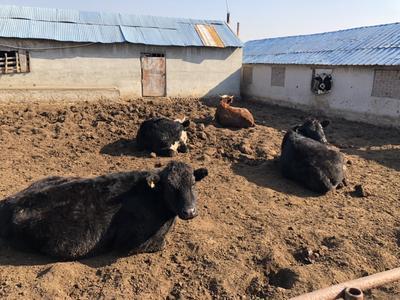 山东省威海市环翠区黄牛 1000斤以上 统货