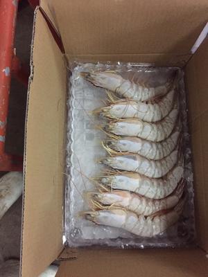广东省湛江市霞山区南美白对虾 2-4钱 人工殖养