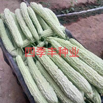 四川省成都市新都区白玉苦瓜种子 袋装