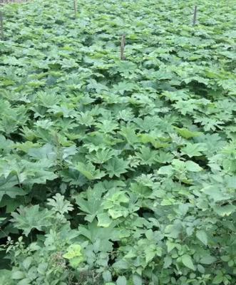 这是一张关于通草 大通草苗的产品图片