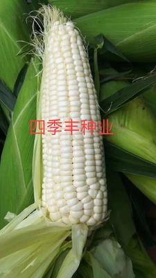 四川省成都市新都区糯玉米种子 双交种 ≥97%