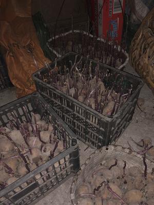浙江省丽水市庆元县中薯5号土豆种子 原种