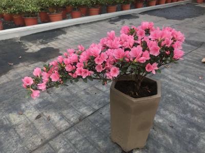江苏省常州市新北区蜡皮杜鹃花 0.5米以下