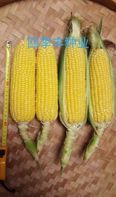 四川省成都市新都区甜玉米种子 ≥97% 双交种