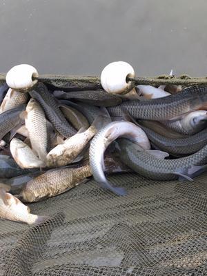 贵州省黔西南布依族苗族自治州安龙县池塘草鱼 1-2.5公斤 野生