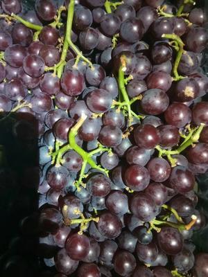 山东省威海市乳山市红宝石葡萄 1.5- 2斤 5%以下 1次果