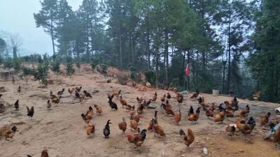江西省上饶市余干县青脚土鸡 3-4斤 母