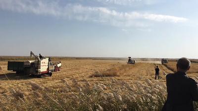 内蒙古自治区巴彦淖尔市乌拉特前旗粳稻谷 中稻/一季稻