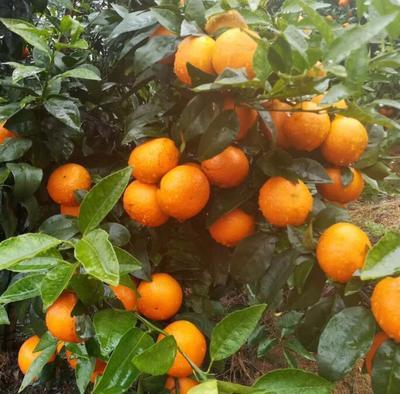 广西壮族自治区桂林市永福县沃柑 4两以上 鲜果,果径6~9cm
