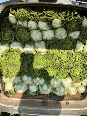 云南省昆明市呈贡区德高CR117大白菜 2~3斤 净菜