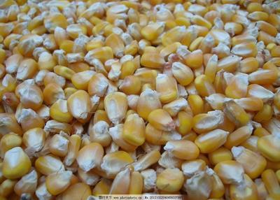 这是一张关于玉米湿粮 杂质很少 水份14%-16% 的产品图片