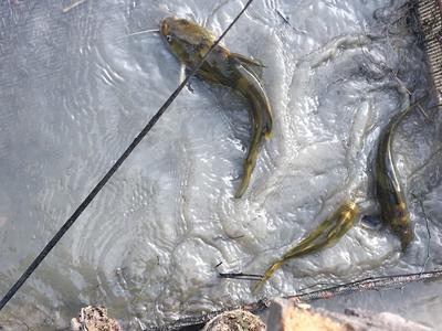 广东省江门市新会区池塘黄颡鱼 人工殖养 0.25-1公斤